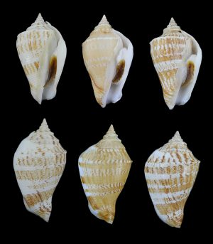 Margistrombus marginatus marginatus (Marginate conch)