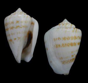 Conomurex persicus (Persian conch)