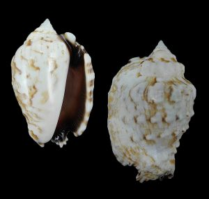Lentigo pipus (Butterfly conch)
