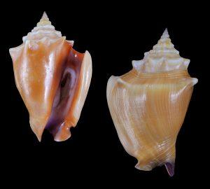 Strombus pugilis (West Indian Fighting Conch)