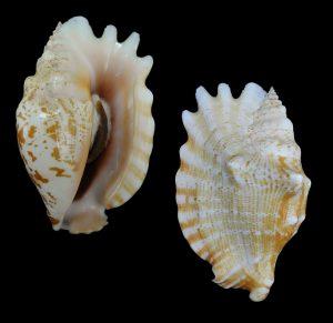 Sinustrombus sinuatus (Laciniate conch)