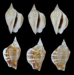 Dolomena swainsoni (Swainson's Conch)
