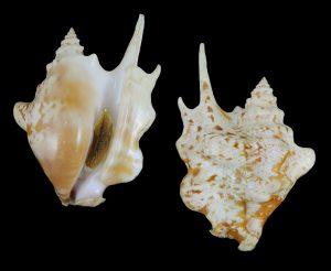 Sinustrombus taurus (Bull Conch)