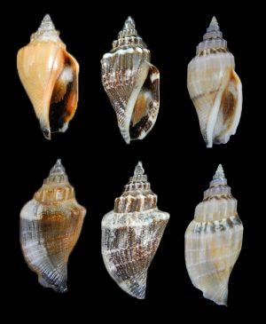 Canarium urceus urceus (Little bear conch)