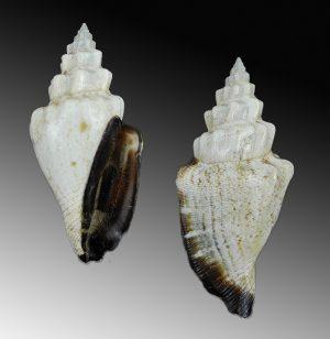 Canarium urceus ustulatum (Black lip conch)