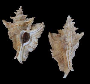 Pterochelus acanthopterus (Thorny-winged murex)