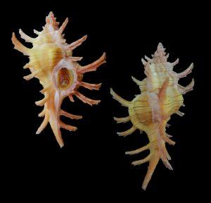 Chicoreus aculeatus (Pendant murex)