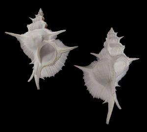 Siratus alabaster (Alabaster murex)