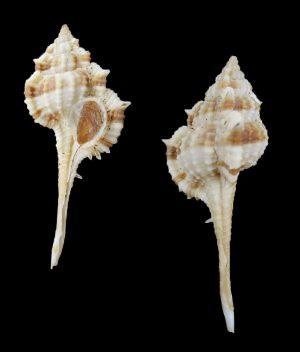 Vokesimurex multiplicatus bantamensis