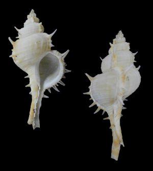 Vokesimurex bobyini