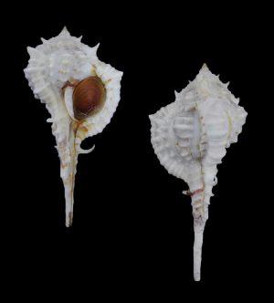 Vokesimurex messorius (Mesorius murex)