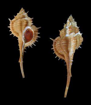 Vokesimurex mindanaoensis (Mindanao murex)
