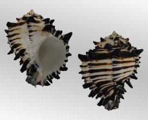 Hexaplex nigritus (Northern radix murex)