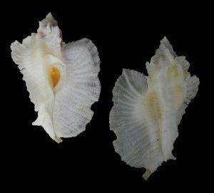 Pterynotus pellucidus (Pellucid murex)