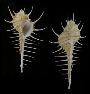 Murex djarianensis poppei