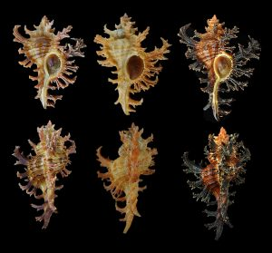 Chicoreus spectrum (Spectral murex)