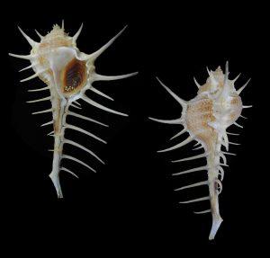Murex acanthostephes