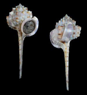 Haustellum kurodai (Kuroda's snipe bill murex)