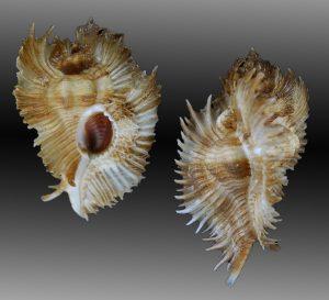 Timbellus miyokoae (Miyoko murex)