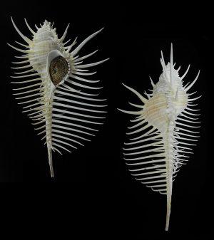 Murex pecten (Venus comb murex)