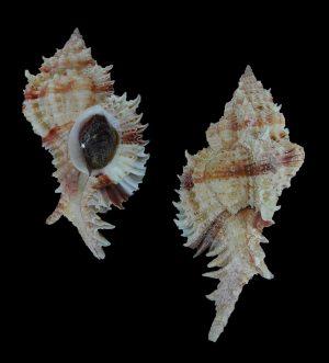 Chicomurex pseudosuperbus