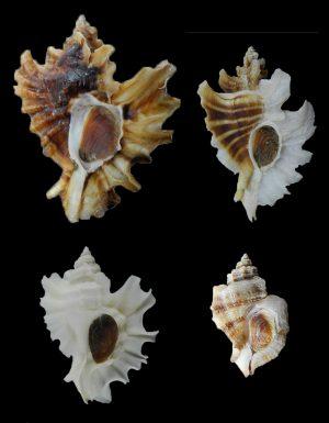 Muricidae - Ocenebrinae