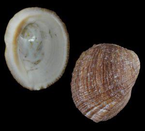Concholepas concholepas (Barnacle rock shell)