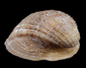 Concholepas Barnacle Rock Shell Malacology