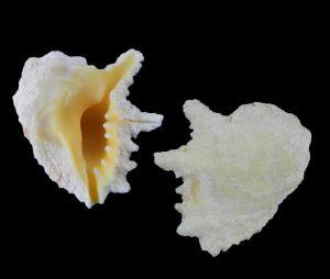 Drupina grossularia (Finger drupe)