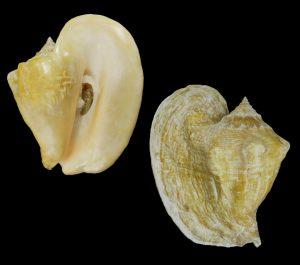 Lobatus goliath (Goliath conch)