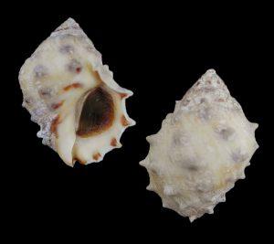 Mancinella alouina (Alou rock Shell)