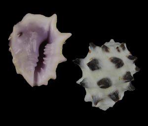 Drupa morum (Purple Pacific castor bean)