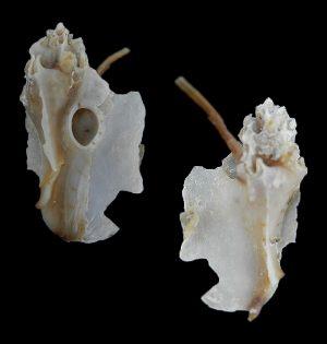 Muricidae - Typhinae