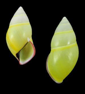 Amphidromus phamanhi