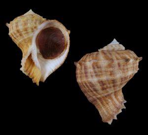 Rapana rapiformis (Turnip shell)
