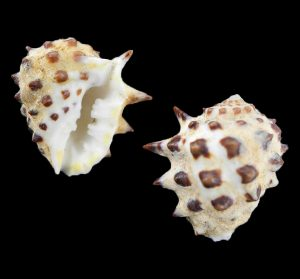 Drupa rucinus (Prickly pacific castor bean)