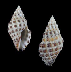 Muricidae - Ergalataxinae (Oyster drills)