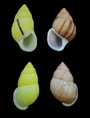 Amphidromus sancangensis