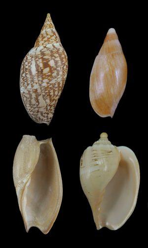Volutidae (Volutes) - Cymbiinae