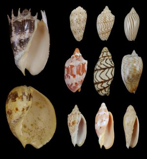 Volutidae (Volutes) - Amoriinae