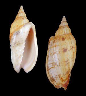 Alcithoe arabica (Arabic volute)