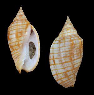 Harpulina arausiaca (Gold-banded volute)
