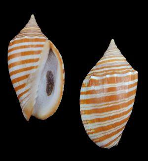 Harpulina arausiaca f. vexillum (Vexillate volute)