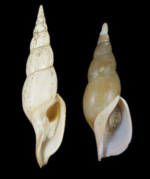 Volutidae (Volutes) - Calliotectinae
