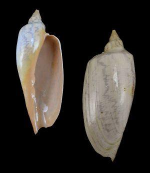 Zidona dufresnei (Angular volute)