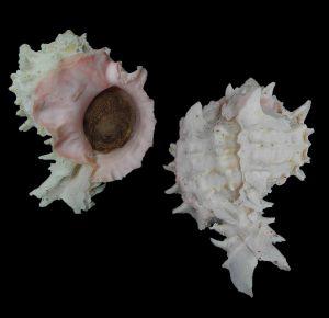 Hexaplex erythrostomus (Pink-mouthed murex)