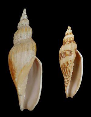 Volutidae (Volutes) - Fulgorariinae