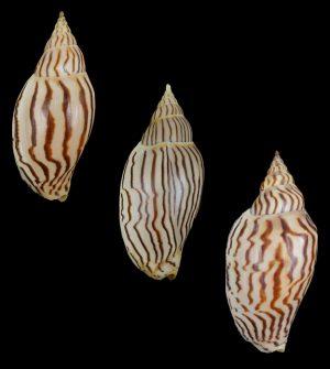 Harpulina loroisi (Lorois's volute)