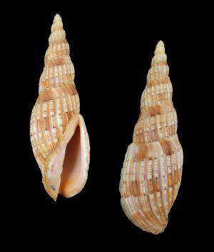 Lyria lyraeformis (Lyre-formed lyria)