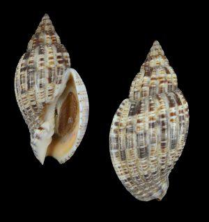 Lyria mitraeformis (Miter-shaped lyria)